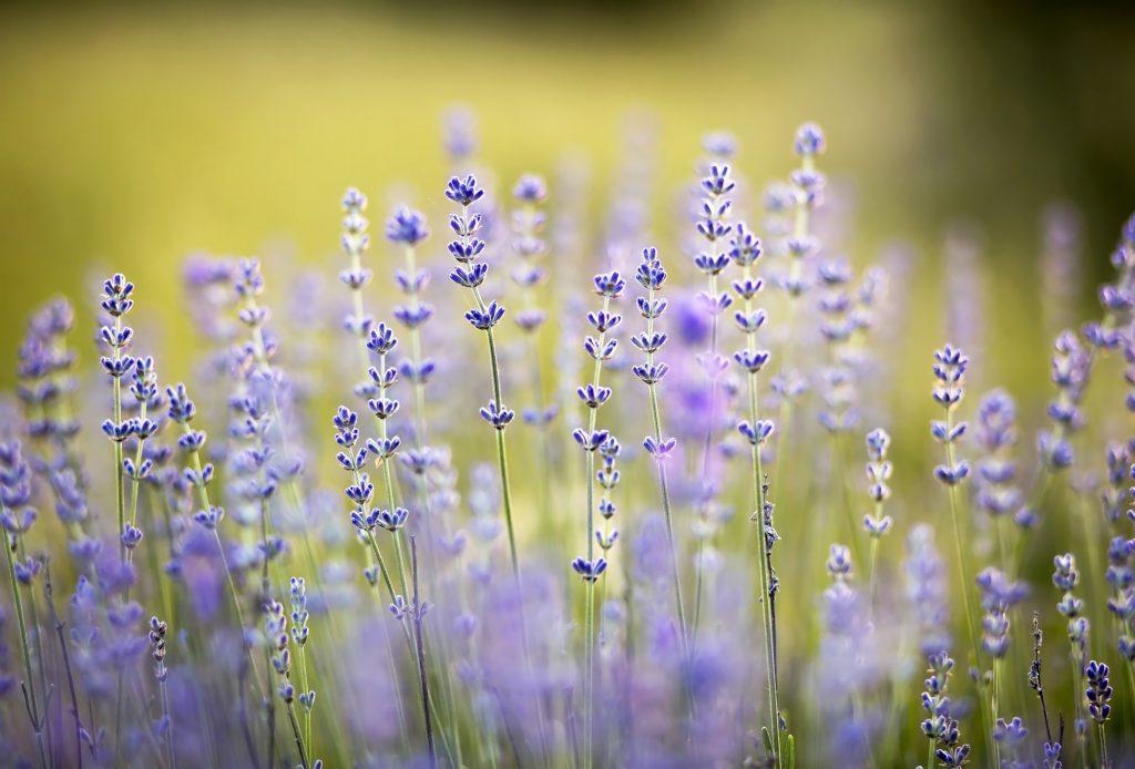 Herbal lavender flowers